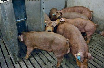 свинки в ккм