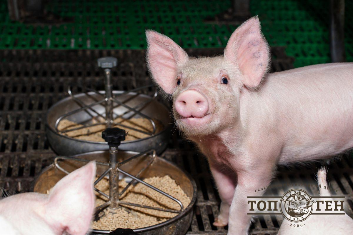 служебная свинка